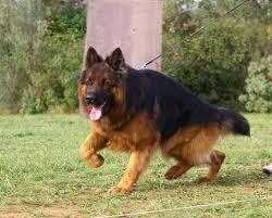 belgian shepherd for sale australia 652 best german shepherds images on pinterest german shepherds