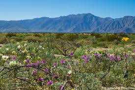 anza borrego desert hurry to see anza borrego wildflowers before they u0027re gone