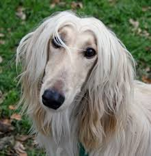 afghan hound times afghan hound miracle paws