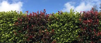 ornamental mixed hedges mixed hedging plants for sale uk