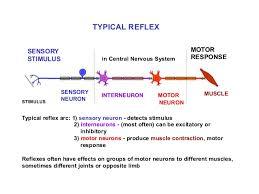 Motor Reflex Arc Reflex