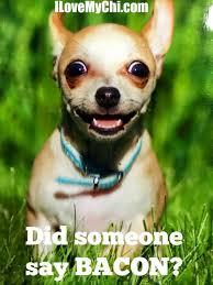 Funny Chihuahua Memes - 20 chihuahua memes that will make you laugh bacon dog and animal