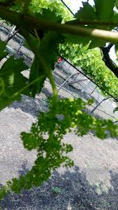 how to grow grape vines 13 steps with pictures wikihow