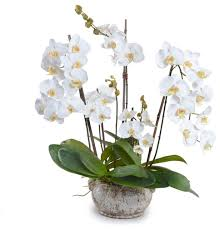 White Orchid Flower Phalaenopsis Orchid Arrangement Large White Transitional