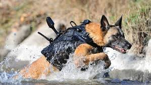belgian malinois jet black the dogs of the navy seals navy seals