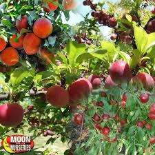 citrus fruit trees moon valley nurseries