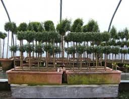Real Topiary Trees For Sale - myrtle topiaries demystified snug harbor farm