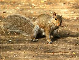 beware a staggering squirrel in your backyard toronto star