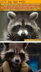 Racoon Meme - rocket raccoon memes best collection of funny rocket raccoon pictures