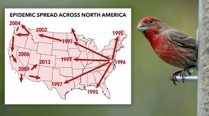 house finch eye disease outbreak then understanding all about