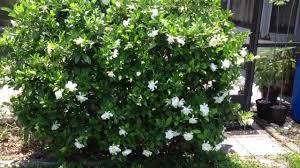 the pretty gardenia outdoor plants wearefound home design