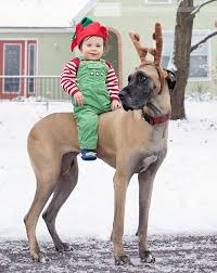 great danes aren u0027t as good as you might think here are 21 ways to
