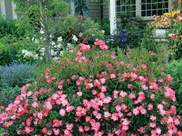 drift roses drift roses of florida institute of food and