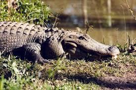 Louisiana wildlife images Wildlife gardens jpg