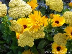 edible landscaping edible of the month marigold and calendula