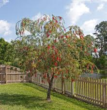 file bottlebrush tree in florida crop jpg wikimedia commons