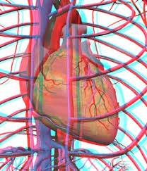 External Heart Anatomy External View Of The Heart This Diagram Shows The Heart In