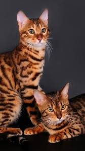 bengal cats domestic cat bengal pinterest domestic cat