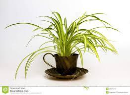 spider plant in retro tea cup stock photos image 31544243