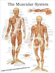 Muscle Anatomy Of Shoulder Anatomical Charts And Posters
