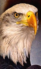 strange eagle wallpapers 90 best wolf u0026 eagle images on pinterest bald eagles eagle bird
