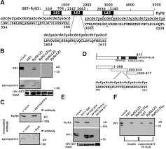phosphorylation dependent regulation of ryanodine receptors jcb