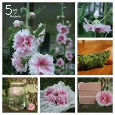 hollyhock flowers uses for hollyhocks