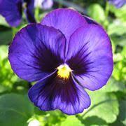 fiori viola viola fiore piante annuali fiore viola