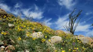 anza borrego desert flowers fans of anza borrego desert state park fight two invasive plants