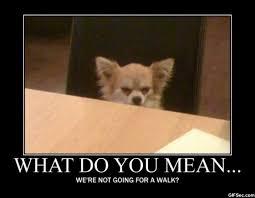 Funny Chihuahua Memes - funny pet meme s tlc pet hospital albuquerque veterinarians
