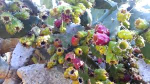 Fig Flower - opuntia ficus indica yellow flower prickly pear indian fig
