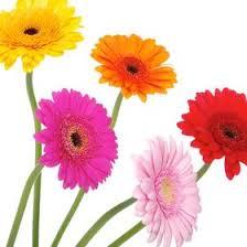 gerbera colors gerbera in bulk theflowerexchange