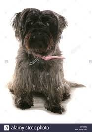 affenpinscher india westie dog studio stock photos u0026 westie dog studio stock images