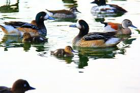 ornamental ducks poultry and for sale in the uk and