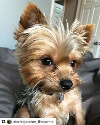 yorkie hair cut chart 20 adorable yorkie haircuts yorkie hair styles to try right now