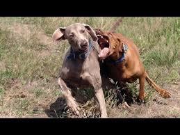 weimaraner vs afghan hound vizsla vs weimaraner ultimate clash last traveler traveling