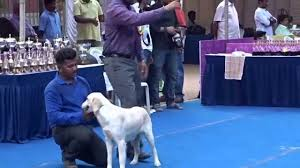 belgian sheepdog price in india labrador retriever dog in chennai dog show india 2015 ymca ground