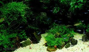 Aquascaping World Stan U0027s Picture Blog Preview Of My 2008 Iaplc Tank Morning Shimmer