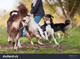 hiking with australian shepherds picture person playing four australian shepherd stock photo