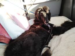 afghan hound puppies california fundraiser by marla hart rescue this gorgeous afghan hound