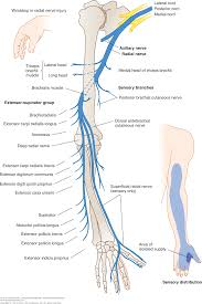 Nerve Map Appendix C Spinal Nerves And Plexuses Clinical Neuroanatomy
