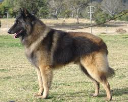 belgian sheepdog michigan view topic expelled dog rp open chicken smoothie