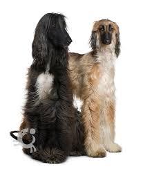 afghan hound dog images afghan hound bauwow world