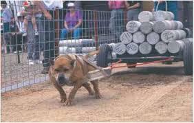 american pit bull terrier registry the apbt american pit bull terrier dog obedience guides
