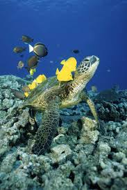 common name green sea turtle named for the green color of the
