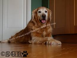 Holloway House Cleaner by Safe Clean Shiny Wood Floors Golden Woofs