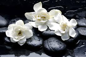 Gardenia Flower Organic Gardenia Enfleurage Limited Edition