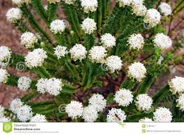 hardy native australian plants australia wildflowers stock photography west australian