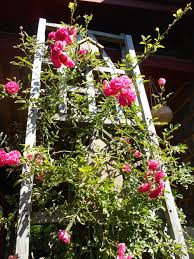 trellis roses easiest roses to grow in new england new england today