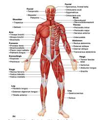 Human Anatomy Diagram Download Uncategorized Diagram Muscle Diagram Muscular System Over